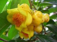 金花茶花朵