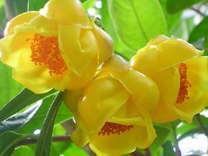 广西金花茶花朵