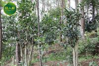 金花茶种植