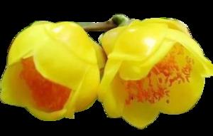 The golden camellia